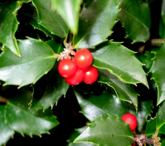 Featured Plant: Honeymooners Holly