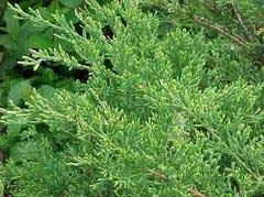 Featured Plant: Sea Green Juniper