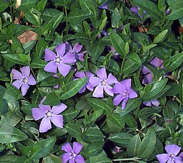 Picture of Lesser Periwinkle